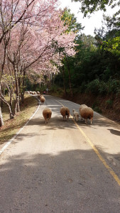 Sakura and Sheep in Chiang Mai