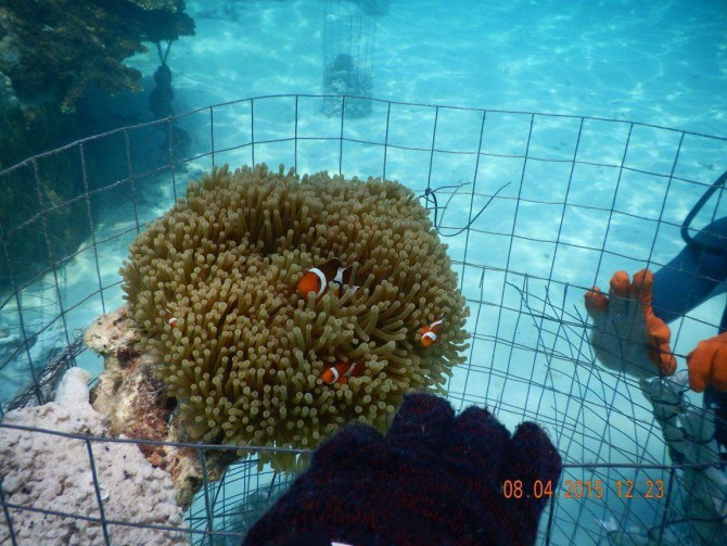 Corals and marine species are currently being grown in the shores of Summer Bay Resort