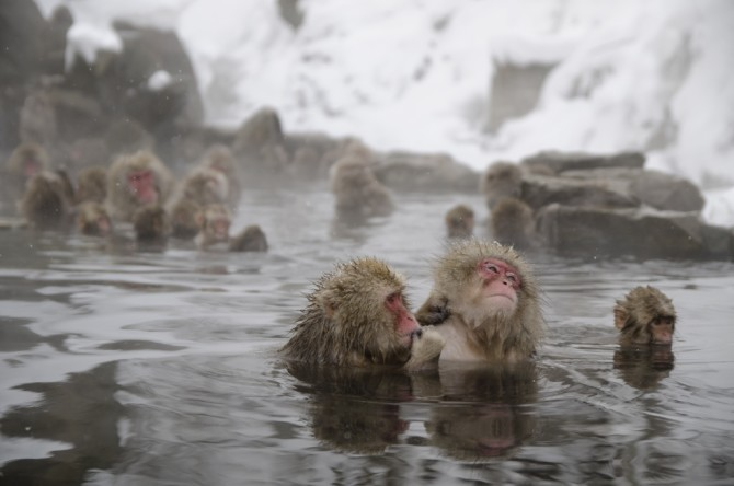 Japanese snow monkeys relaxing in a natural onsen in Jigoku-Dani (Hell's Valley), Japan