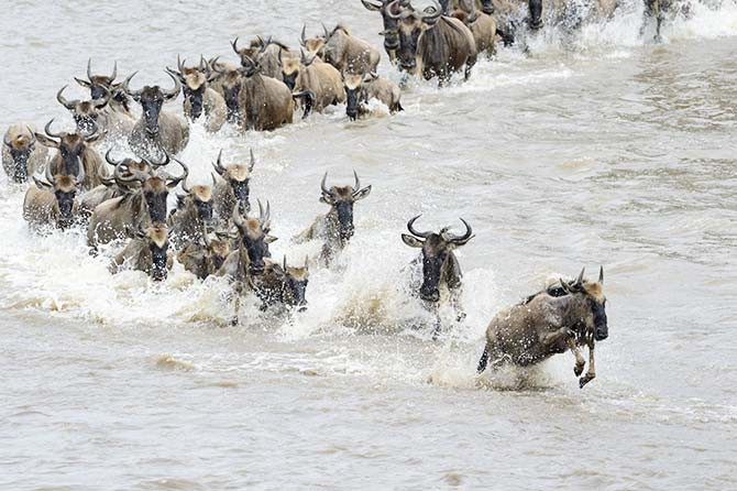 "The Serengeti migration is known as one of the ""New Seven Wonders of the World"""
