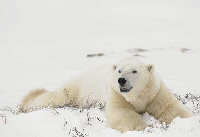 Catch a glimpse of these lovable polar bears, from a ship or on a  snowmobile