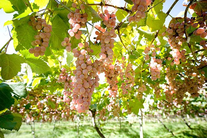 Kosyu grapes, widely used in Japanese wines, have been cultivated in Yamanashi for 100 years