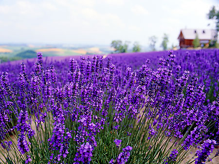 The Lavender Farm will surprise you with its rich colour and fragrance