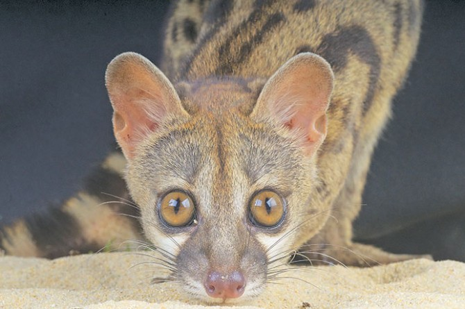Civet cat poop: Worth its weight in gold?