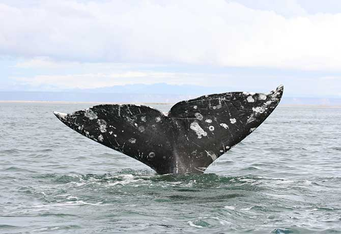 In the grey whale sanctuary of San Ignacio Lagoon in Baja, Mexico, a whale brings up its flukes during a dive