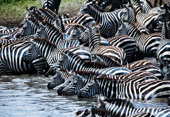 A herd of zebra stop for a drink in the river, remaining alert for predators