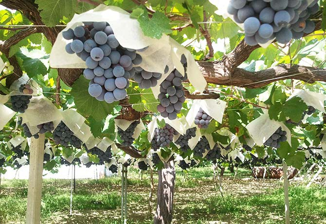 """The Muscat Bailey A grape, created by the """"father of the Japanese wine grape"""""""