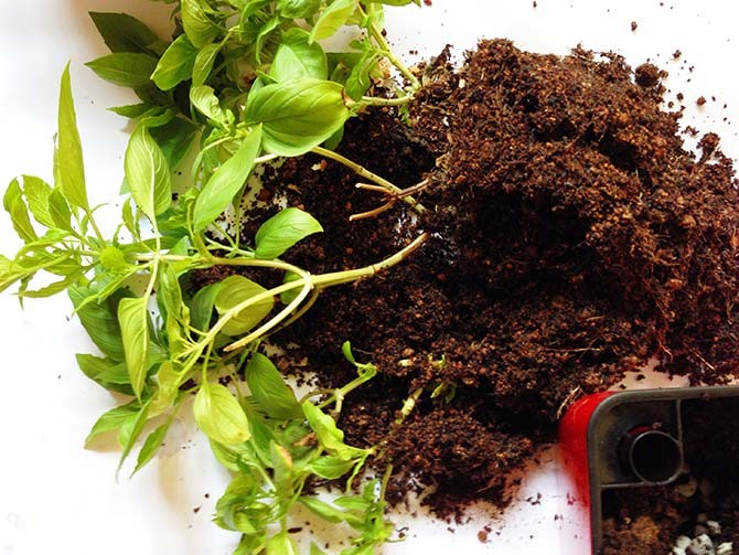 #139_food_repotting-of-basil-as-they-grow-bgger